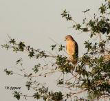 red shouldered hawk at dusk
