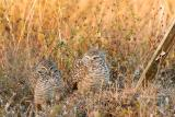 burrowing owl pair on the nest