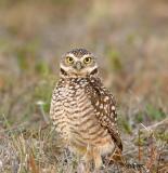 burrowing owl male