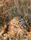 sleepy female burrowing owl