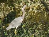 tricolor heron with fish