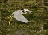tricolor heron fishing
