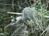 great blue heron unsuspecting