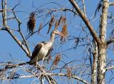 juvenile white ibis in bald cypress tree