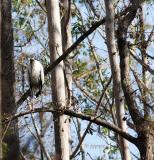 woodstork in cypress