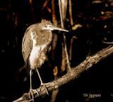 juvenile triolor heron