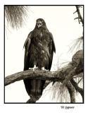 juvenile southern bald eagle calling for food