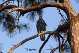 juvenile bald eagle in slash pine