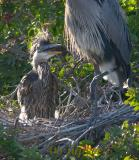 great blue heron chick in the nest