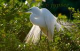 great egret lores in breeding  color