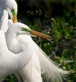beautiful great egret lores in breeding color