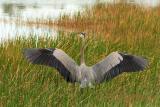 great blue heron wingspread