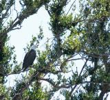 eagle on a barrier island