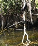 green heron and anhinga