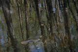 anhinga swimming