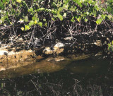 alligator in the shade