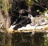 shiny alligator