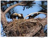 eagle pair at the nest