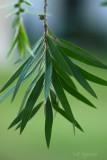 bottle brush leaves