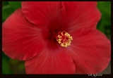 really red hibiscus