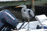 great blue heron waiting for a handout