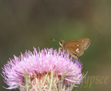 twinspotted skipper