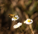 whirlabout skipper ventral view