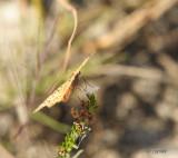 variegated fritillary feeding