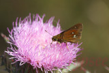 twin spotted skipper number two