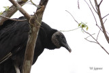 black vulture in the treetop