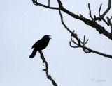 redwing silhouette