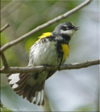 Eastern Warblers, Vireos & Kin