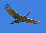 Soaring Sandhill Crane