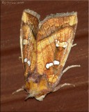 Papaipema Species