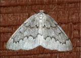 Nepytia canosaria - False Hemlock Looper - Hodges#6906