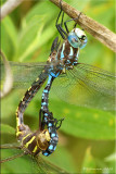 Mating Lance-tipped Darners ~ Aeshna constricta