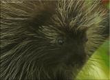 My Life Porcupine