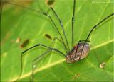 Harvestman Spider with Mite
