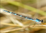 Blue Form Female Tule Bluet ~ Enallagma carunculatum