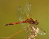 Mature Male Autumn Meadowhawk ~ Sympetrum vicinum