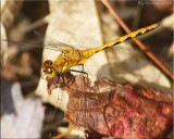 Immature Male Sympetrum internum - Cherry-faced Meadowhawk