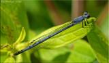 Eastern Forktail ~ Ischnura verticalis