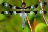 Libellula pulchella - Twelve-spotted Skimmer