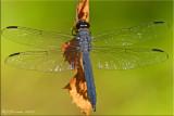 Libellula incesta - Slaty Skimmer