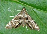 Petrophila canadensis - Canadian Petrophila - Hodges#4779
