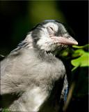 Sleepy Baby Blue Jay