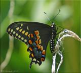Black Swallowtail Ventral