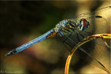 Blue Dasher ~ Pachydiplax longipennis Male
