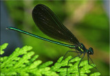 Calopteryx maculata - Ebony Jewelwing Male