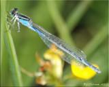 Possible Female Stream Bluet ~ Enallagma exsulans